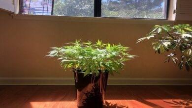 How To Grow Cannabis As A House Plant